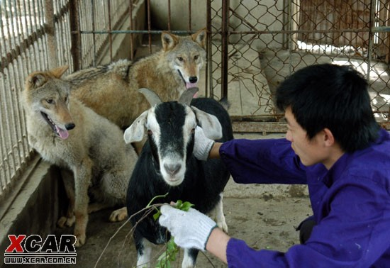 但记者2009年4月21日在铜陵市天井湖公园动物园内看到,两条大灰狼与一