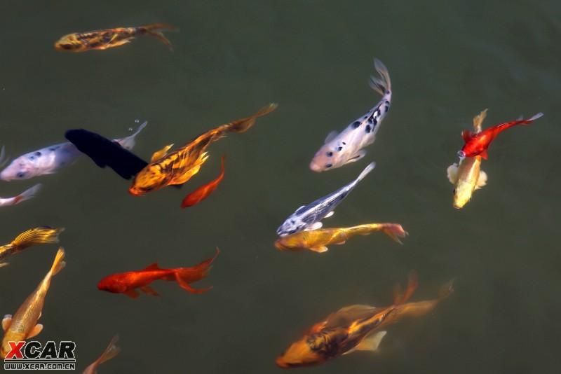 锦鲤体格健美,色彩艳丽,花纹多变,泳姿雄然,具极高的观赏和饲养价值.