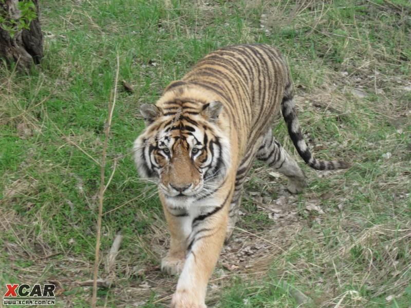 看这个老虎,是不是比动物园的老虎精神得多