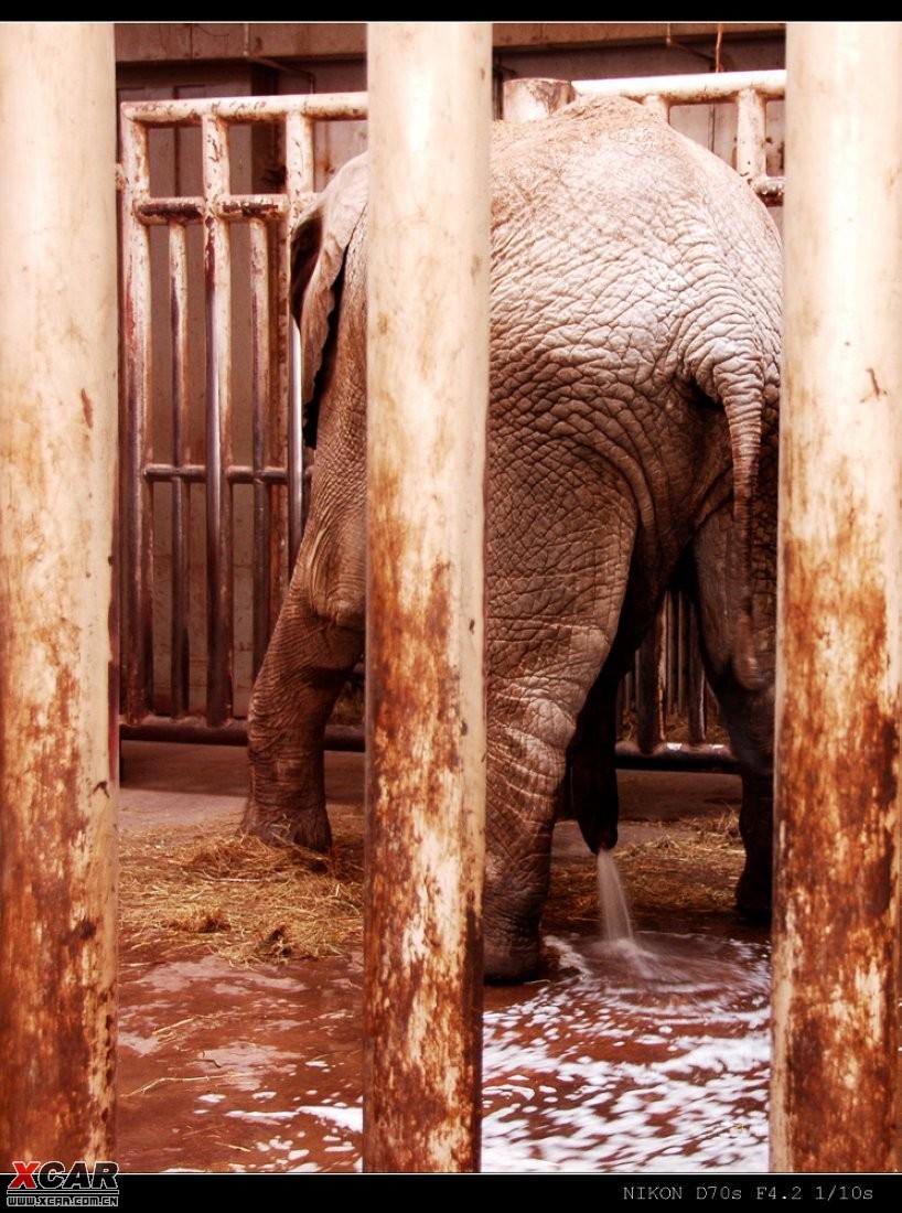 北京动物园儿----大象尿尿图2张