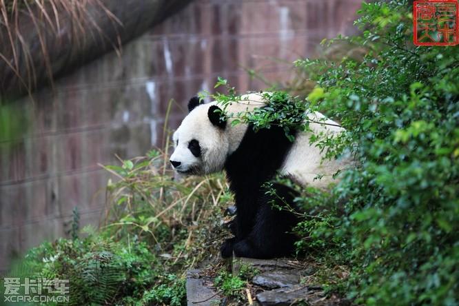 壁纸 大熊猫 动物 666_444