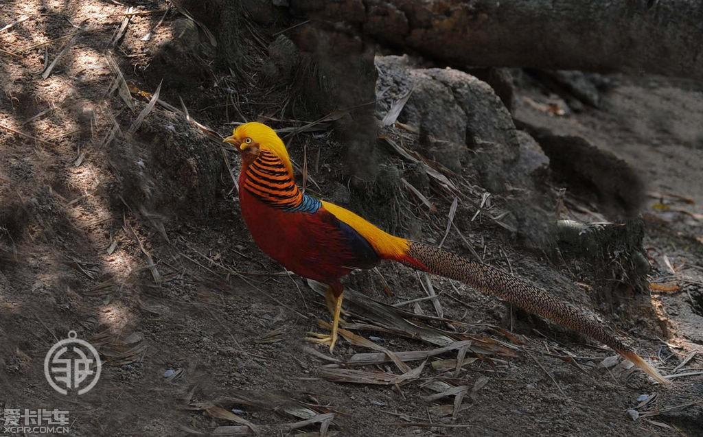 三江,天峨   列入《中国濒危动物红皮书》易危 国家重点保护野生动物