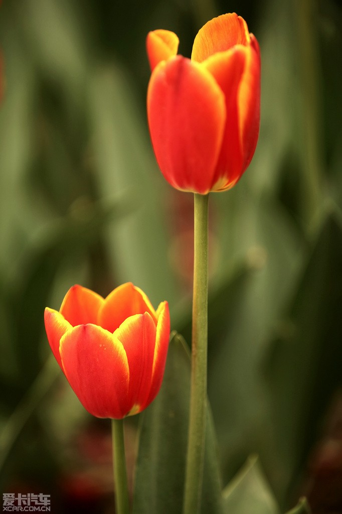 等到花也谢了_5月22日别等到花儿也谢了~~人民公园郁金香~~tx抓紧去吧!