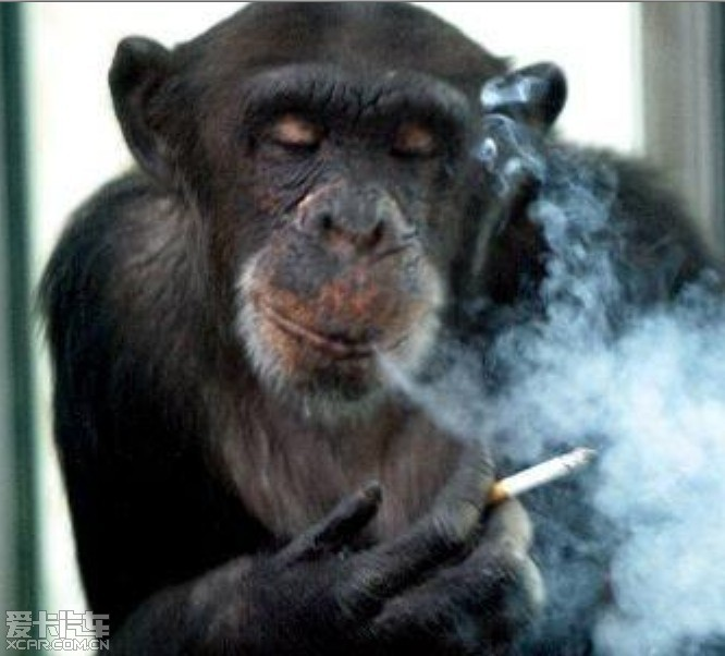 西安秦岭野生动物园一只名叫艾艾的母猩猩16年前痛失原配丈夫之后,一度心情郁闷而染上烟瘾;1997年,陪伴了它7年的后夫又因病去世,加上一个孩子远嫁到沈阳,一个孩子不幸死去,使得艾艾在孤独和寂寞中变得烟瘾一天比一天大。看来,借烟消愁已经不是人类独有的嗜好了。