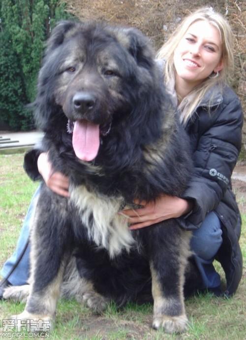 高加索犬:世界上体型最大的狗
