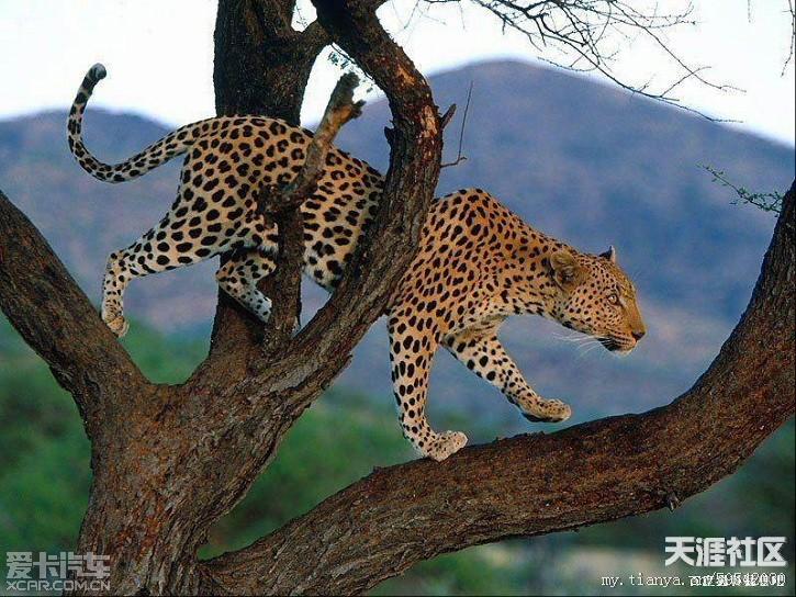 猫科动物体型分布(转)