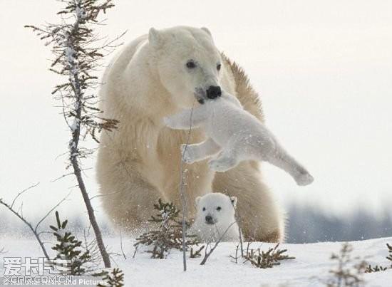 摄影师拍到北极熊母子在雪地赶路镜头