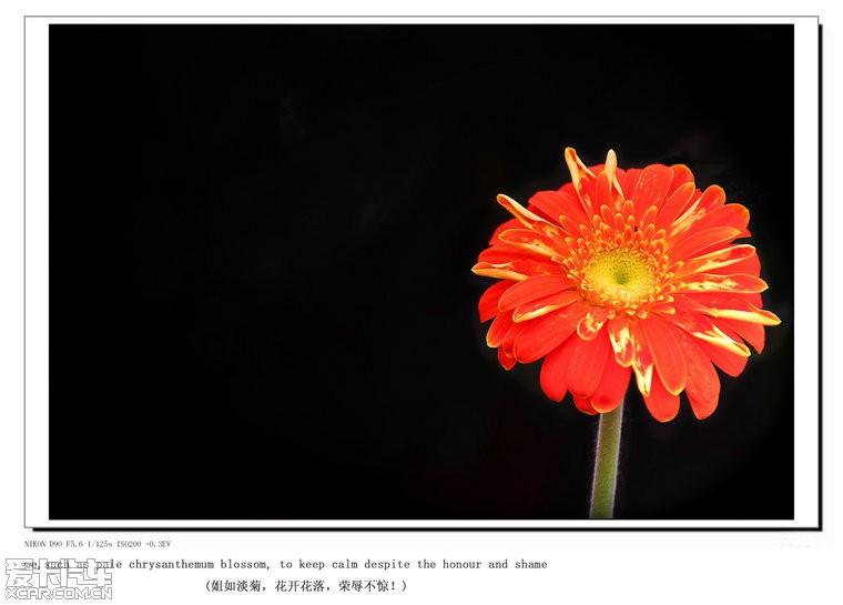 姐如淡菊,花开花落,荣辱不惊(原创摄影,欢迎拍