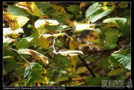 要枯黄的小小树叶.