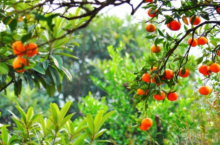 《 旅游消息:苏州东山岛橘子红了… 》 - 江苏旅