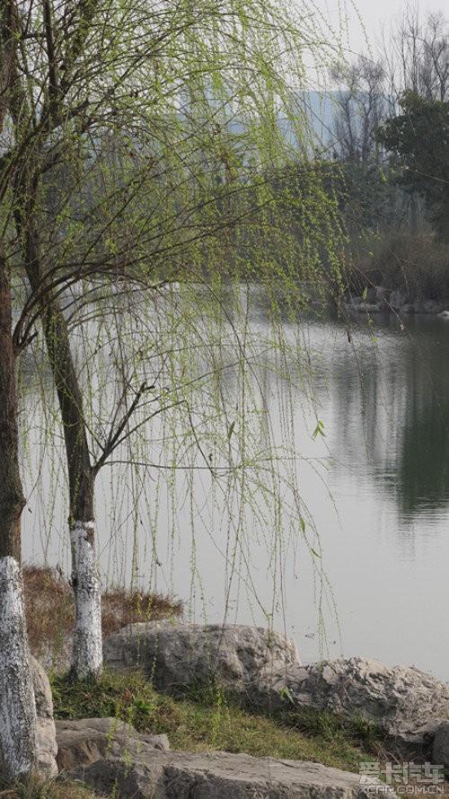 边的柳树发芽了