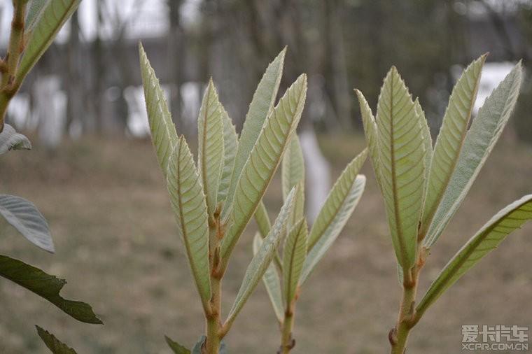 核桃树发芽了