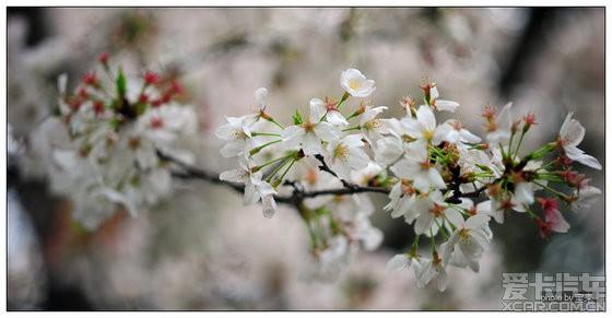纵然就一株,也时不时的花枝乱颤花瓣飞落