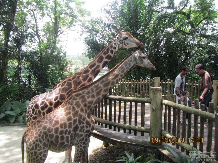 里的小动物呗安排的都很亲近人类,有些用手可以摸到,可以给长颈鹿喂食