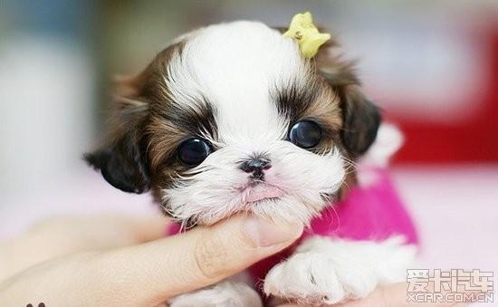 可爱的茶杯犬 - 奥迪q5论坛