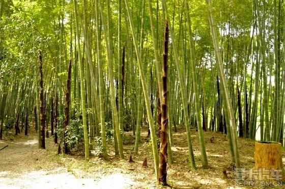 竹子彩色简笔画 步骤内容图片展示