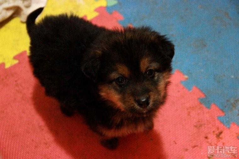 > 以前我家养的三只小狗,是藏獒的小串种,特别可爱~~!