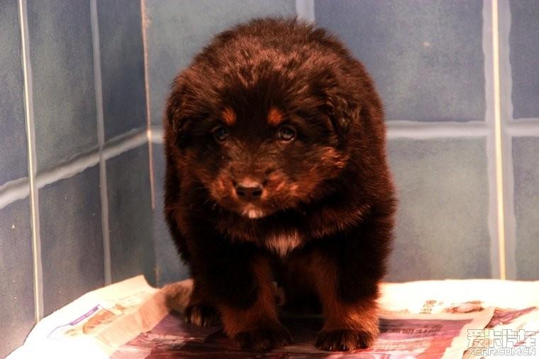 标题: 以前我家养的三只小狗,是藏獒的小串种,特别可爱~~!