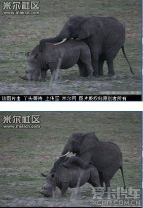 强奸的日本片_> 实拍非洲大象强奸犀牛的震撼过程