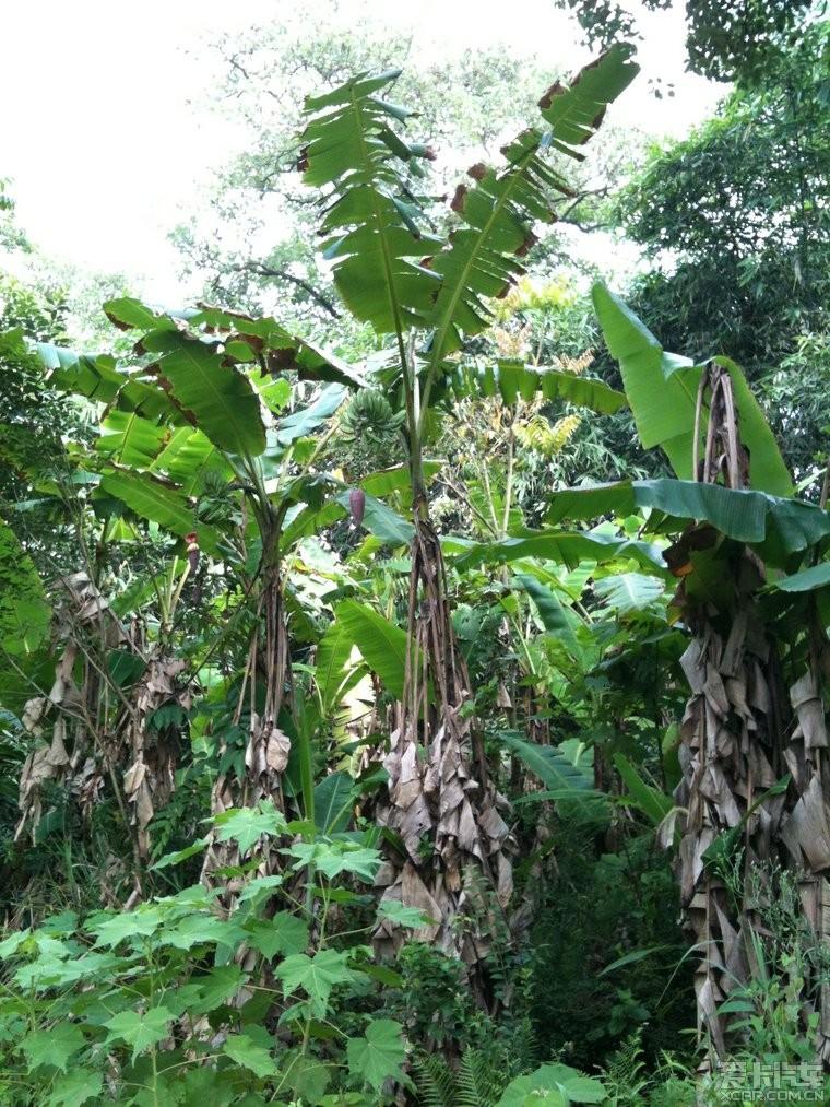 这个高的是芭蕉树.