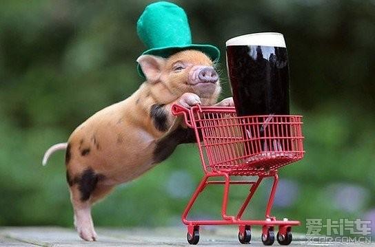 > 超级可爱的迷你宠物猪