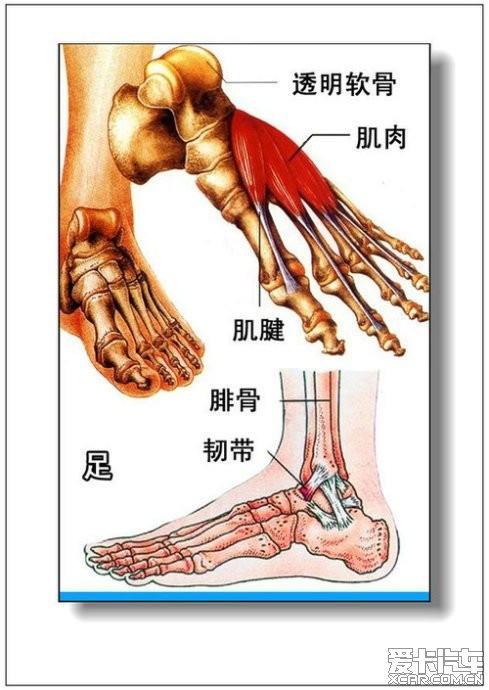 女人体全身器官�_男人,女人体器官及病理(彩图详解)(51/77)