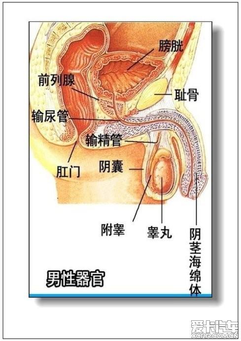 肾到膀胱的结构图