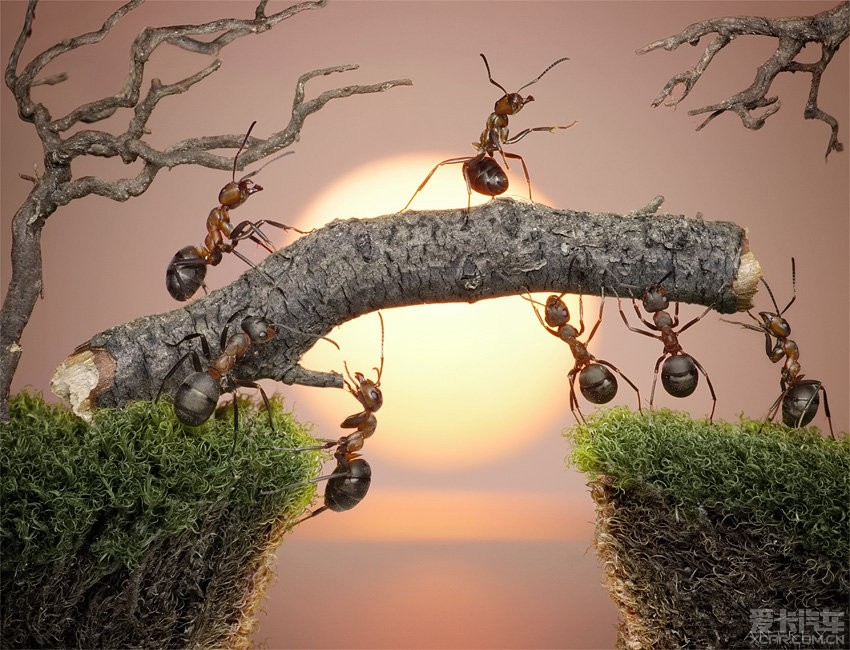 > 叹世界无奇不有 赏蚂蚁搬家架桥图片