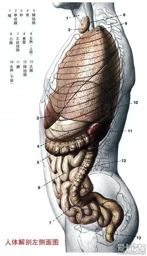 女人体全身器官�_男,女人体器官