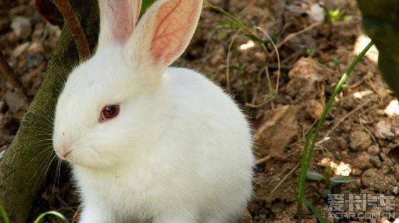 可爱的小白兔_爱卡汽车