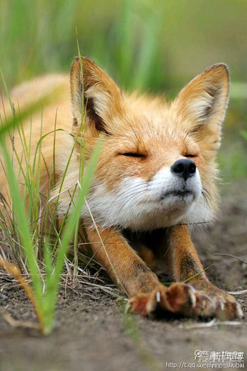 伸懒腰的小狐狸,表情好可爱哦
