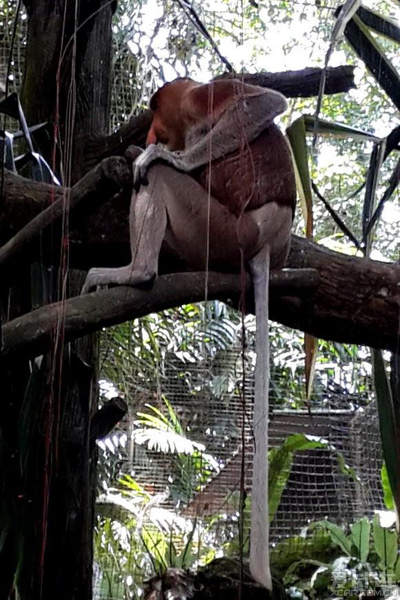 道奇/象鼻猴