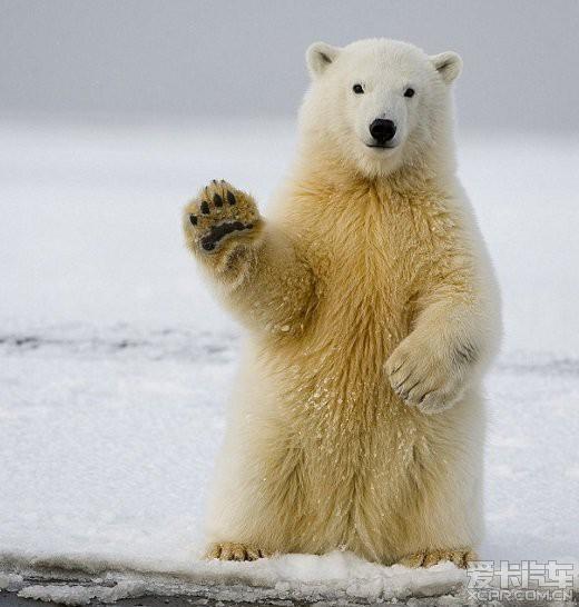 可爱的北极熊