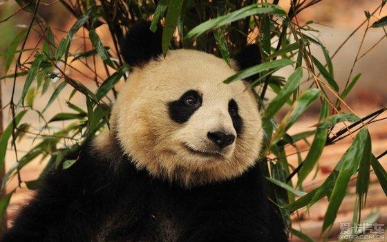 壁纸 大熊猫 动物 560_350