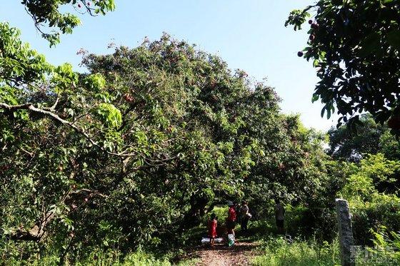 全是老荔枝树,今年大丰收啊!