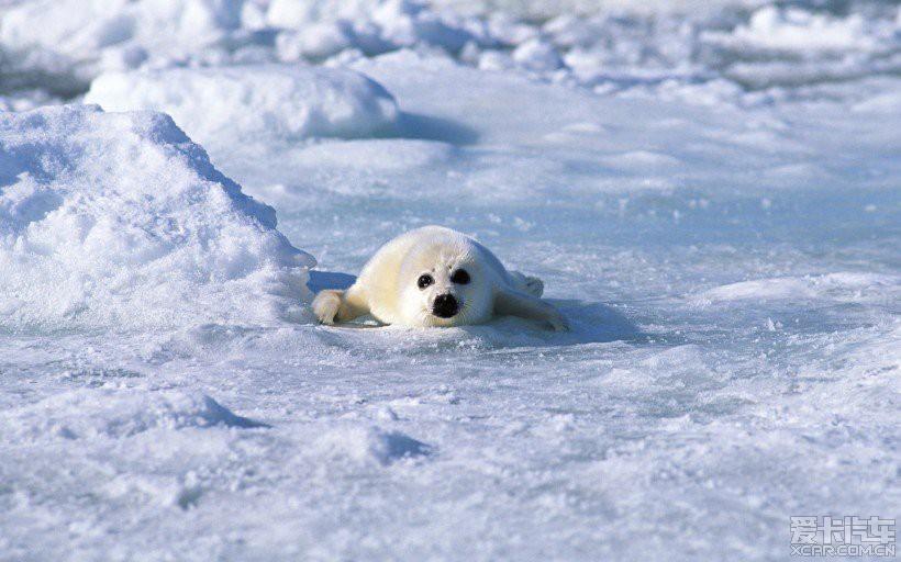 > 欣赏一组可爱的小海豹