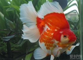 五彩斑斓的金鱼好漂亮啊