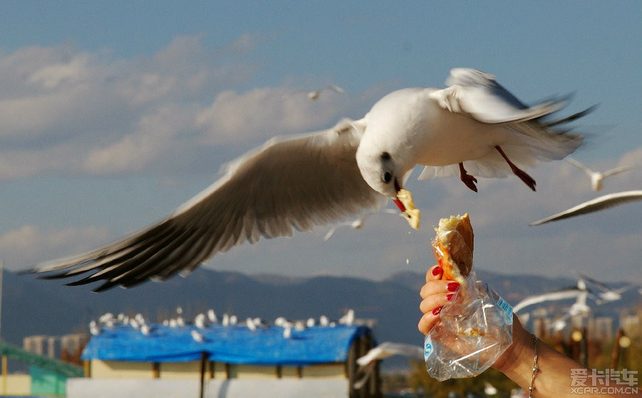 四川海埂映像之论坛,大爱大爱啊!_中国海鸥_X昆明美食对态度的中国人图片
