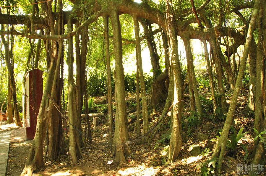 这是生长在村后小山上的一棵树冠占地八点五亩的连株