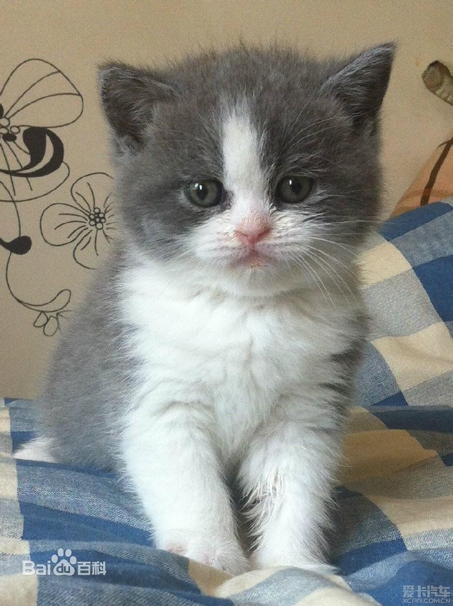 7、暹逻猫 暹罗猫身体修长,体型适中,皮肤紧凑,皮下无脂肪附着;后肢细长,稍长于前肢;脚爪小,呈椭圆形;步态优美高雅。头部为楔形,眼睛大小适中,杏仁状,眼角上勾,呈蓝宝石色。鼻梁高而挺直,耳朵大而尖向前直立;四肢及尾巴均细长;皮毛细致光滑。暹罗猫的显著特征是以浅色皮毛衬托之下,花色重点着色于面部,耳,四肢和尾巴,十分抢眼。一头理想的暹逻猫属中等体型, 流线型身躯, 条长的四肢及长尾巴。身上没有一点多余的脂肪。  十分有个性,性格外向,好奇心强,喜欢与人为伴,善解人意,对人非常亲昵。相当聪明,可以叫它做很多
