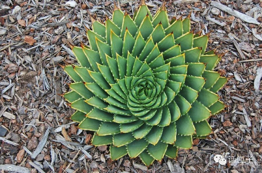 多叶芦荟其完美的几何图形让人感叹自然界的神奇