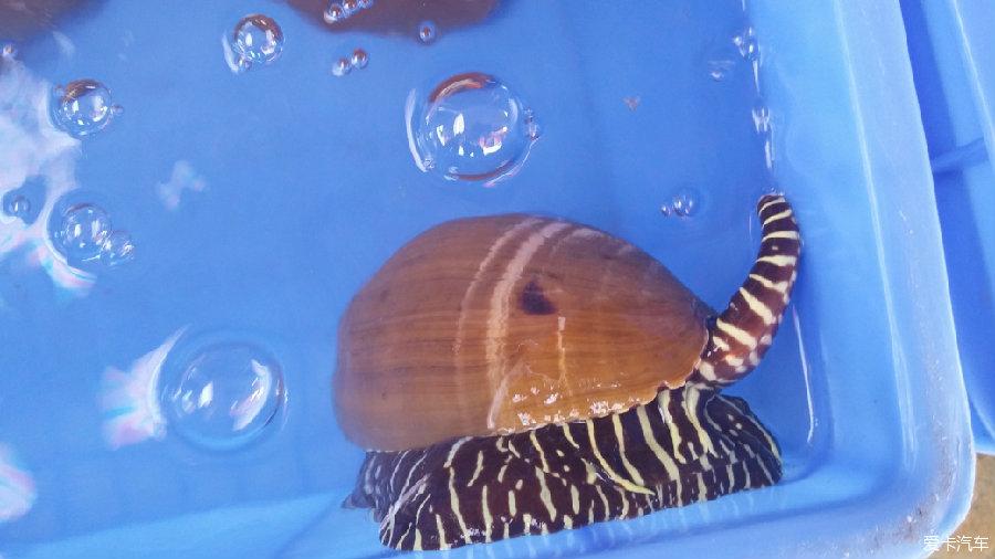 海螺(是活的)