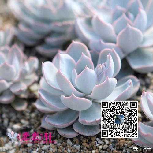 蓝石莲_多肉植物系列二十