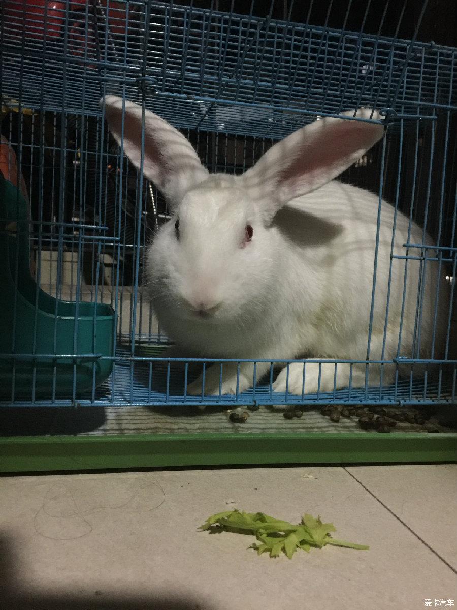 > 可爱的大白兔(公兔)求收养