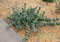 鹿角海棠_多肉植物系列二十三
