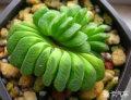 玉扇_多肉植物系列二十六