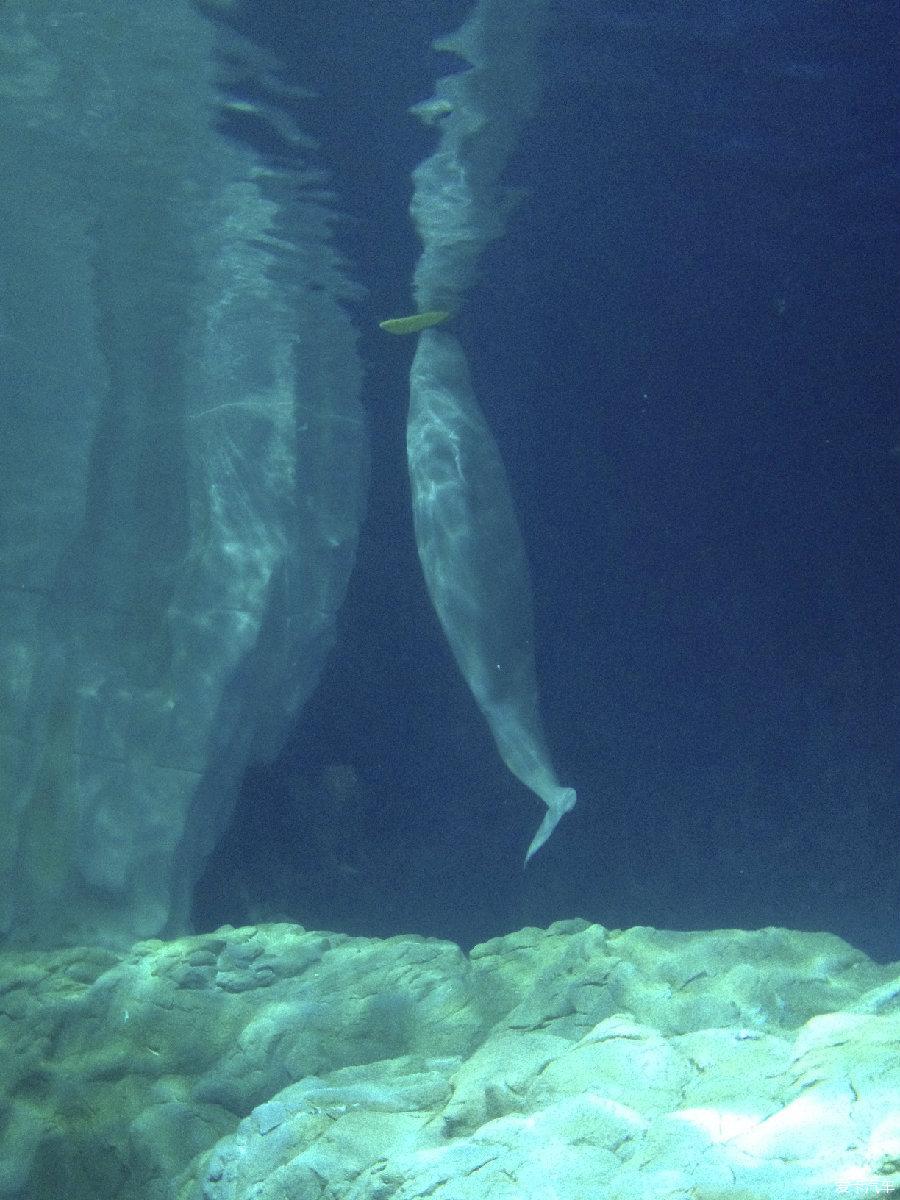 再可爱的白鲸还是要打架的