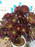 黑法师_多肉植物系列三十二