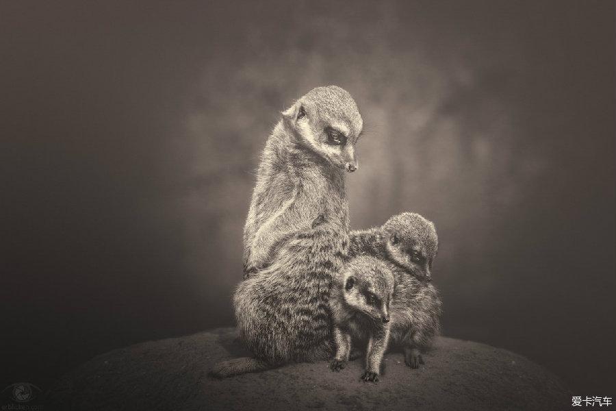 来自德国的摄影师Manuela Kulpa对动物有着特殊的感情,她的作品大都以拍摄动物为主,更确切的说是拍摄动物园,野生动物园,水族馆中的动物。Manuela Kulpa关注并拍摄濒危动物。这组名为《非洲灵魂》的作品,所拍摄的都是非洲野生动物园中的动物,她说:我要用我的照片来展现这些沉默不语的美丽生灵隐藏在表象之下的情感与灵魂。