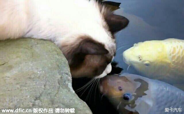 > 猫咪爱上鱼:3个春夏秋冬,每天一吻!